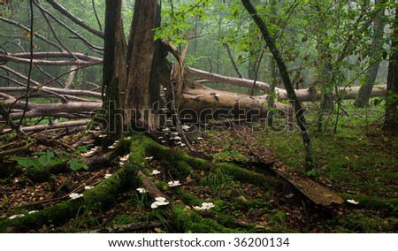 Large broken tree lying in misty forest and old broken stump in foreground with a lot white fungi - stock photo