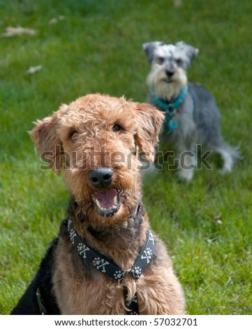 Large brown airedale terrier sits for picture with sneaky little gray dog grinning in the background - stock photo