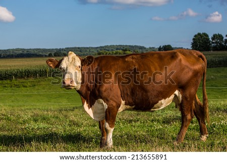 Large brown and white cow looking back at camera in meadow. - stock photo