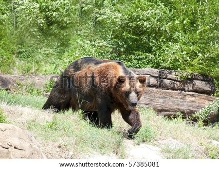 Large brown bear outside in a park or zoo - stock photo