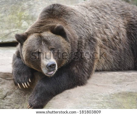 large brown bear resting - stock photo