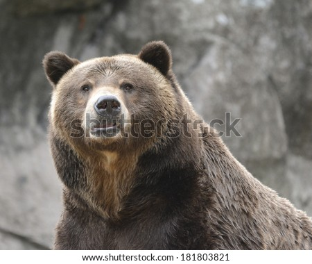 large brown bear staring