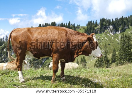 Large brown cow in pasture in the mountains