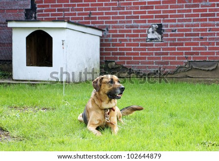 Large brown dog works as a watch  dog - stock photo