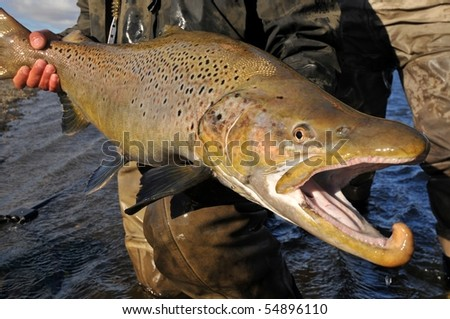 large brown trout caught while fly fishing in Argentina