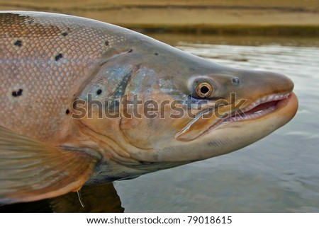 large brown trout caught while fly fishing in Argentina - stock photo