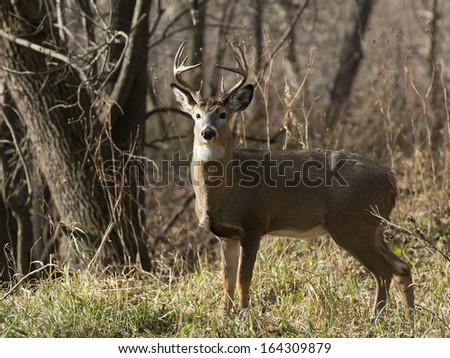Large Buck looking at you - stock photo
