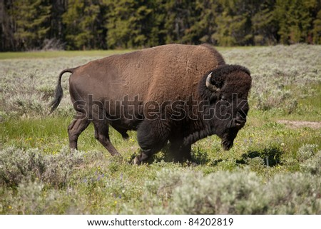 Large buffalo roam freely in Yellowstone National Park.
