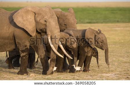Large Bull Elephant in Amboseli, Kenya - stock photo