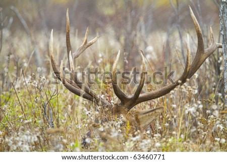 Large bull elk laying in a weed field - stock photo