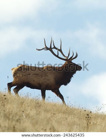 Large Bull Elk Stag in prairie habitat with blue sky background Rocky Mountain Elk, Cervus canadensis  - stock photo