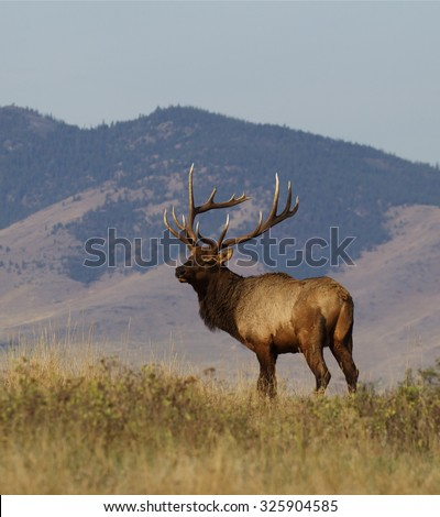 Large bull Elk standing on prairie against a mountain backdrop Rocky Mountain Elk, wapiti, Cervus canadensis western big game hunting