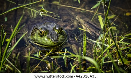 Large bull frog along the edge of a pond. - stock photo