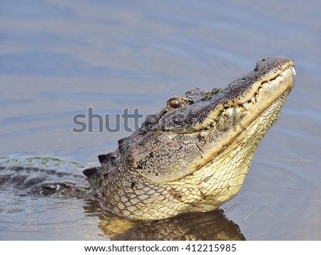 Large Bull Male Alligator Calls for a Mate - stock photo