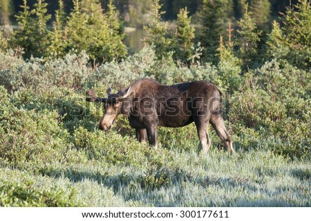 Large bull moose  grazing in Colorado brush