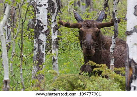 Large Bull Moose in a Quaking Aspen forest, Grand Teton National Park, in spring, with the antlers just forming and covered in velvet; near Jackson, Wyoming, and Jackson Lake - stock photo