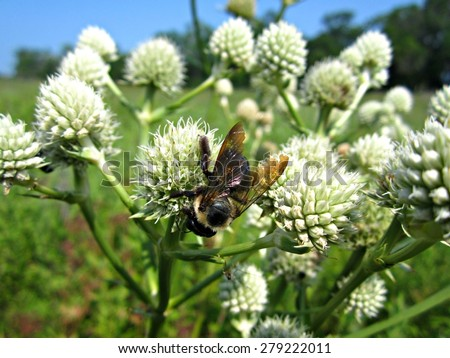 Large bumble bee collecting pollen and nectar from Rattlesnake Master (Eryngium yuccifolium) - stock photo
