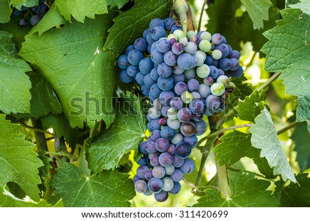 Large bunch of multi-colored red wine grapes ripening on grapevine in vineyard