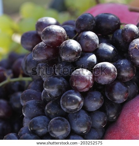Large bunch of red wine grapes hang from a vine, warm. - stock photo