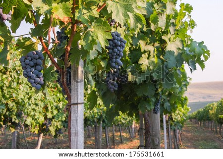 Large bunch of red wine grapes hang from a vine, warm. Ripe grapes with green leaves. Natural background with Vineyard. Wine concept - stock photo