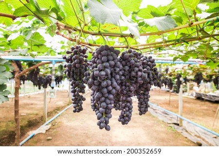 Large bunch of red wine grapes hang from a vine  with green leaves. - stock photo