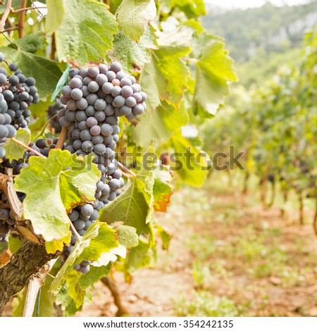 Large bunch of red wine grapes. Ripe grapes with green leaves in direct sunlight. Nature background with vineyard. Wine concept. Square, warm color - stock photo