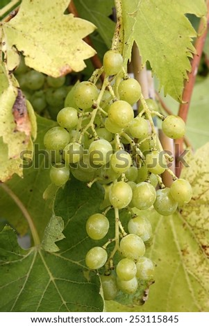 Large bunch of white wine grapes - stock photo