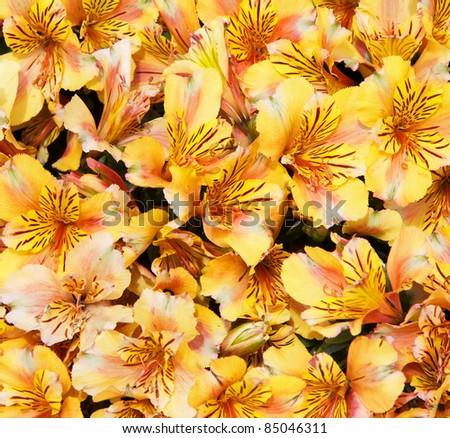 Large bunch or bouquet of yellow azaleas - stock photo