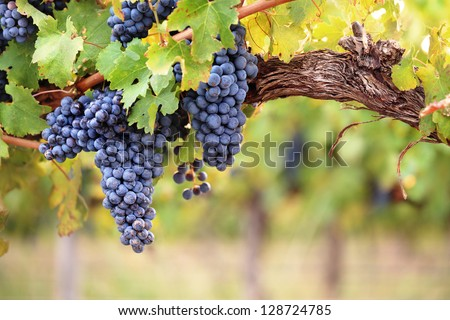 Large bunches of red wine grapes hang from an old vine in warm afternoon light - stock photo
