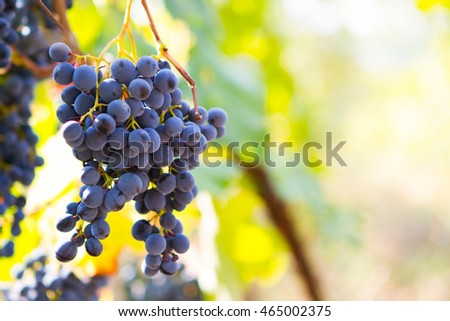Large bunches of red wine grapes hang from an old vine in warm afternoon light. Ripe grapes in fall.