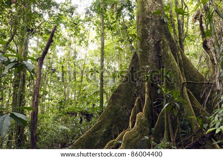 Large buttressed tree in primary rainforest, Ecuador - stock photo