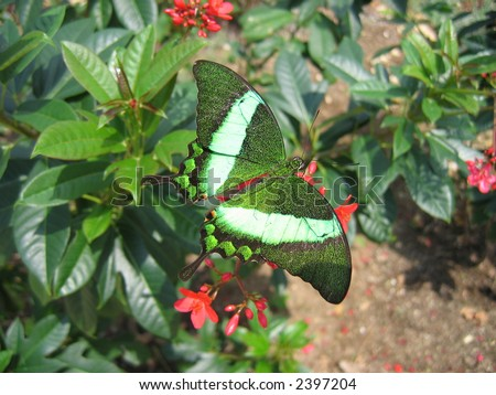 Large camouflaged butterfly in the Cayman Islands - stock photo