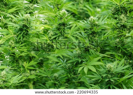 Large Cannabis plants in blossom with THC resin covering leaves - stock photo