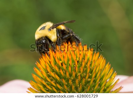 Large Carpenter Bee pollinating a Purple Coneflower