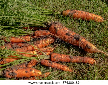 large carrots lying on the grass out of the ground - stock photo