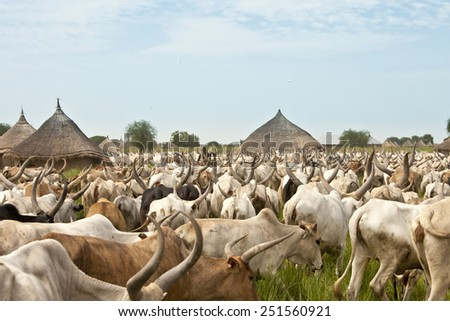 large cattle drive through a village in South Sudan - stock photo