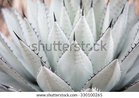 Large Century Plant in Landscaped Flower Bed - stock photo