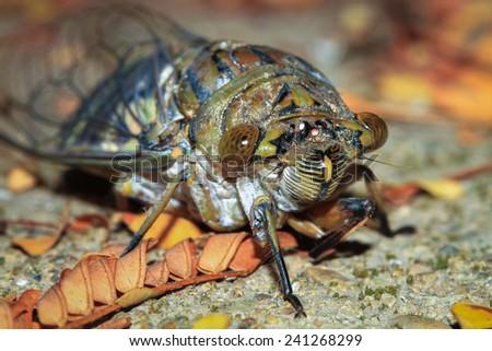 Large Cicada Photographed at Night in Toledo, Belize - stock photo