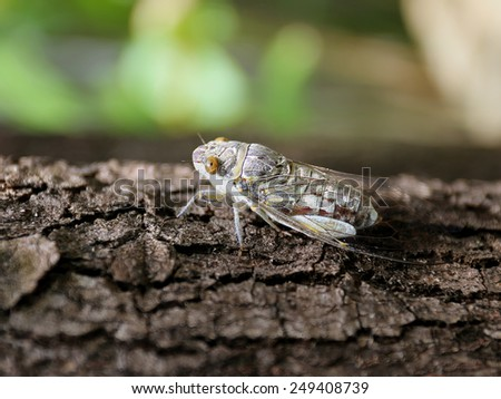 Large cicada sitting on a tree, photographed close-up - stock photo