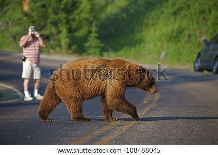 Large Cinnamon-phase Black Bear crosses road, photographer and car in background, Yellowstone National Park - stock photo