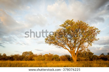 Large classic tree in Botswana, Africa at sunset
