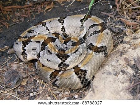 Large coiled Timber Rattlesnake, Crotalus horridus - stock photo