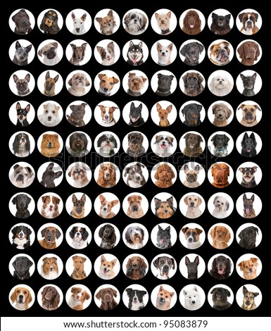 Large collection of dog portraits. Most of it are different breed - stock photo