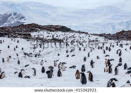 Large colony of gentoo penguins against rocks in background  - stock photo