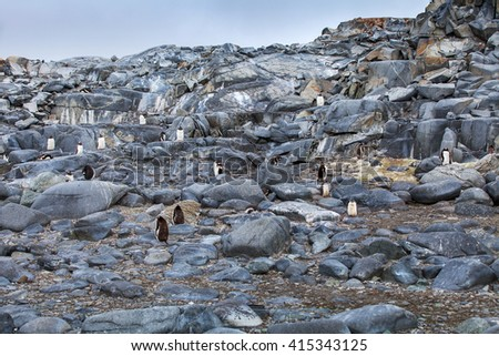 Large colony of gentoo penguins on the rocks in Antarctica - stock photo