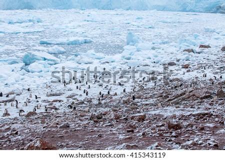 Large colony of gentoo penguins runs over the coast Antarctica - stock photo