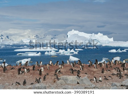 Large colony of gentoo penguins, with floating icebergs in blue sea background, sunny day, Antarctic Peninsula - stock photo