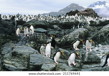 Large colony of Penguins on rocks - stock photo