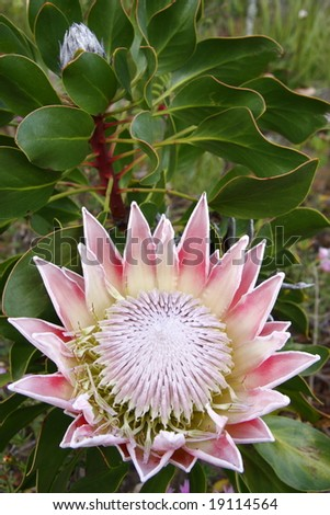 large colorful  protea plant in full bloom - stock photo