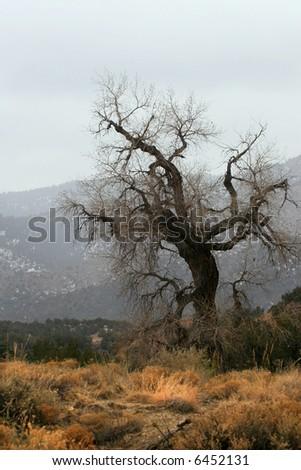 Large Cottonwood tree (Populus fremontii) in foggy landscape in winter. - stock photo